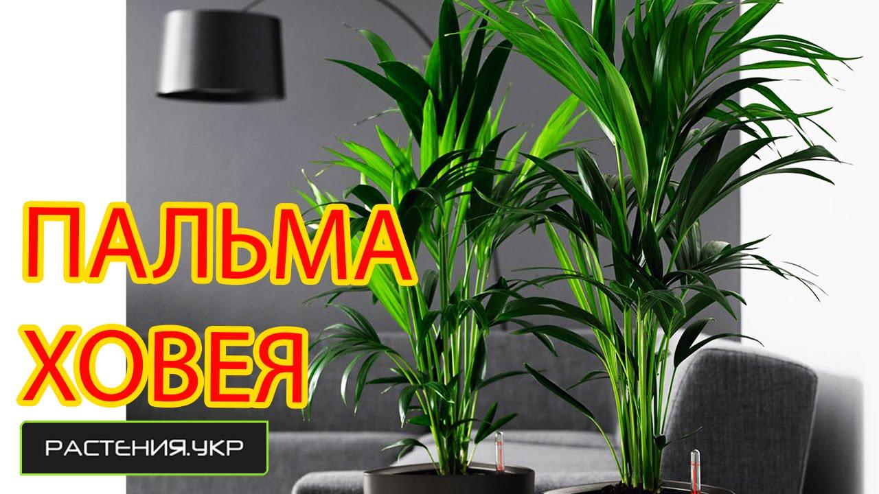 Как ухаживать за домашней пальмой в домашних условиях 753