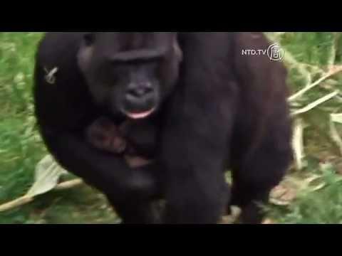 Cặp Sinh Đôi Khỉ Đột Chào Đời Ở Sở Thú Hà Lan