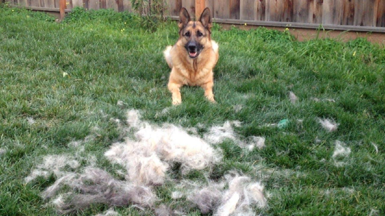 How To Brush Your German Shepherd Dog Timelapse Youtube