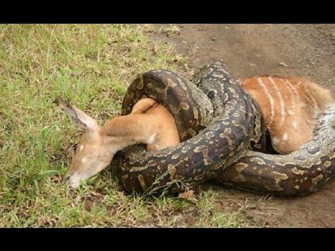 Python kills and swallows a big deer close up / cận cảnh trăn giết và nuốt chửng một con nai to