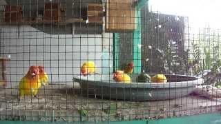 Penangkaran Love Bird Sidoarjo