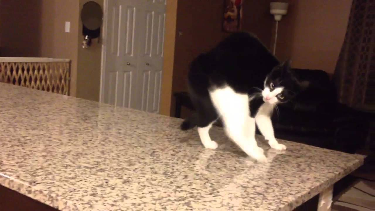 cat crip walks as seen on afv   youtube