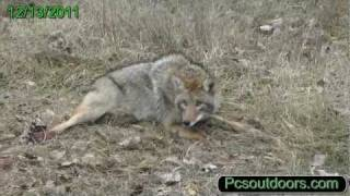 Fox And Coyote Trapping, One Trap Two Days Catch, Red