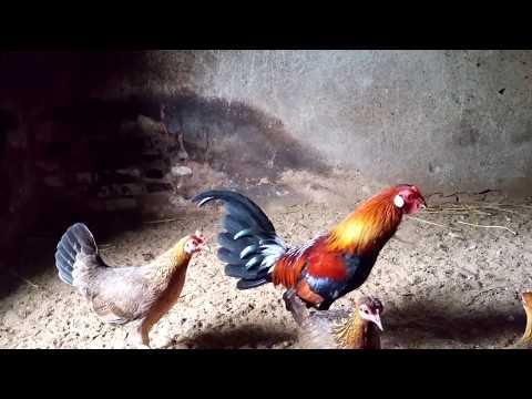 Vẻ đẹp của loài gà rừng rặc việt nam  - Vietnamese jungle fowl