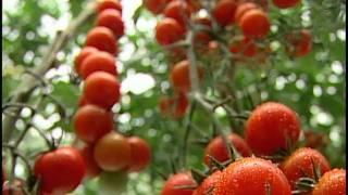 Industria de producción de tomates en invernadero