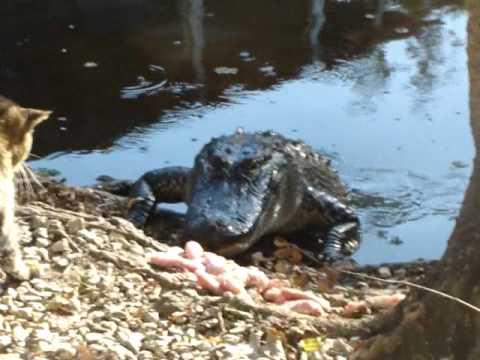 Mačak našamarao aligatora