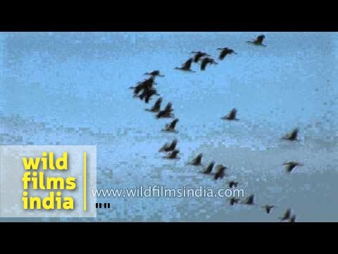 Demoiselle Cranes flying in migratory V-formation