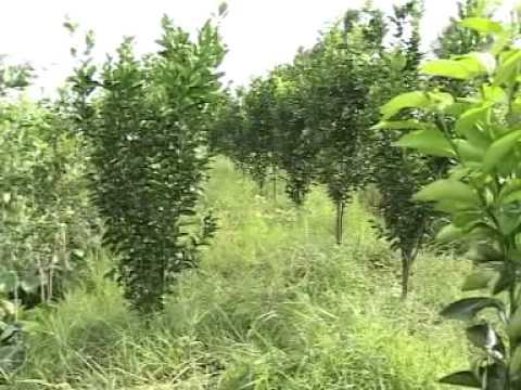 Phân sinh học WEHG với Cây CAM SÀNH và cây ăn trái CÀNG LONG - TRÀ VINH wehgusa.com / wehgusa.vn