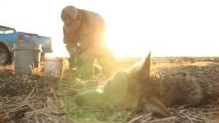 Coyote Trapping Colder Weather Part 2 The Management