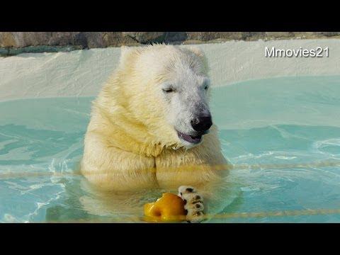 大きなナシを食べる食欲旺盛なポロロ~Polar Bears eat the big pear