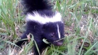 Baby Skunk Friend!! (ORIGINAL)