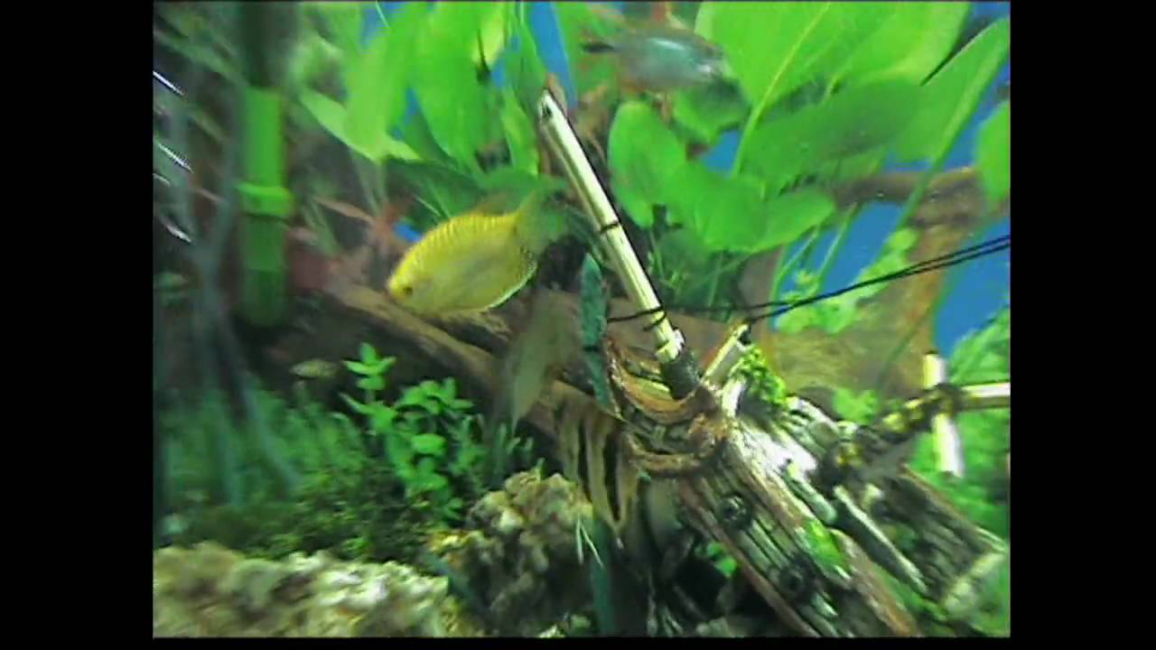 Collectionfdwn Fish Laying Eggs in addition 292263 Mating Acts as well Giant Lionhead Goldfish additionally Peixe Oscar also I00005rp8pbO1ZOo. on oscar fish mating behavior