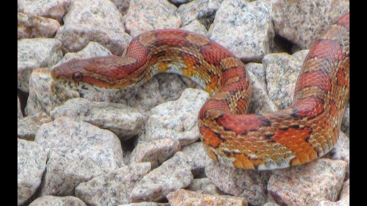 Google+Florida+Snakes Large Florida Red Rat Snake - YouTube