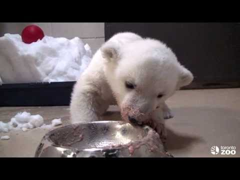 Toronto Zoo Polar Bear Cub  'Super Bowl'
