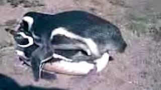 Pinguinos Apareandose