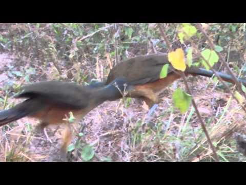 Aves de Venezuela - Aves de Barinas - Guacharaca - Ortalis ruficauda
