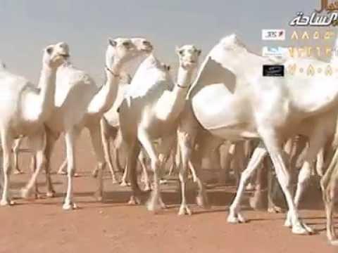 منقية الشيخ / منصور ناصر بن نشاء الرشيدي