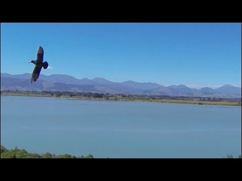 Birds attack phantom drone quad-copter causing crash landing