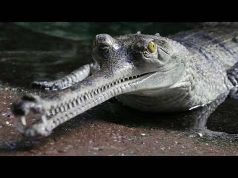 Gaters by a different name, Gharial Conservation