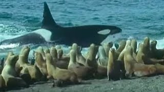 Attenborough: Killer Whales vs. Sea Lions: