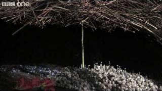 The Vogelkop Bowerbird: Nature Great Seducer..