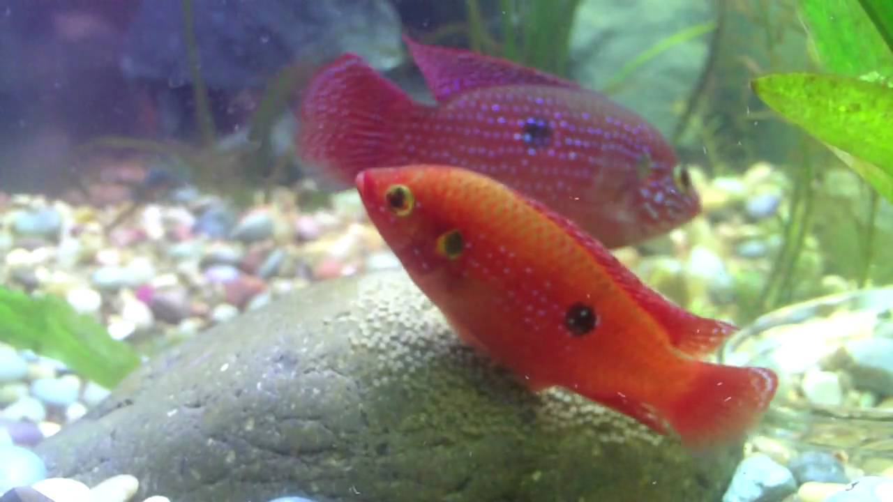 Jewel Cichlid African Jewelfish Blue Red Family Cichlidae Pictures