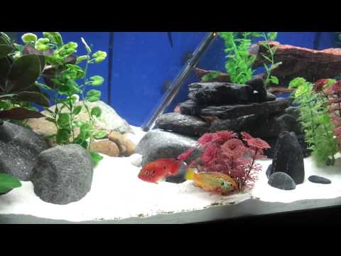 Jewel Cichlid pair defending their fry