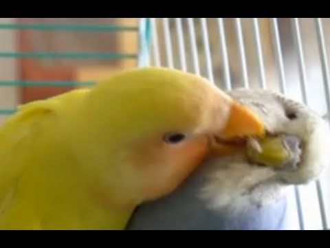 A Preen And A Nap Between A Lovebird and Budgie