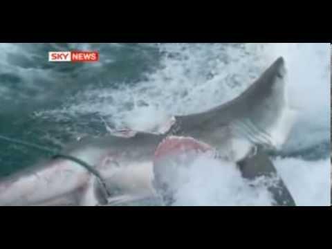 Un requin blanc s 39 est fait tu s par un enorme requin megalodon ou pas youtube - Dessin de grand requin blanc ...