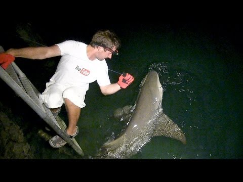 Bahamas Lemon Shark from the Dock