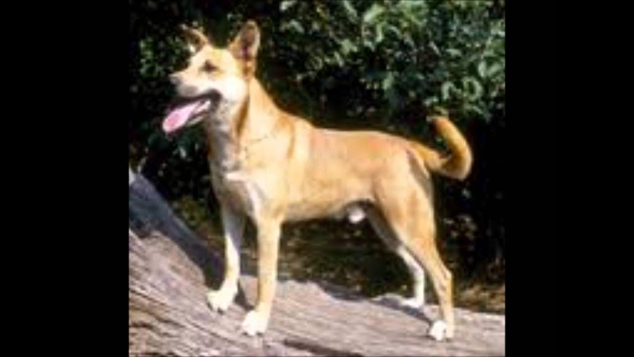 Top Rare Dog Breeds