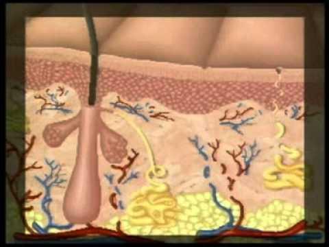 Ciencia Divertida La Piel y sus Partes