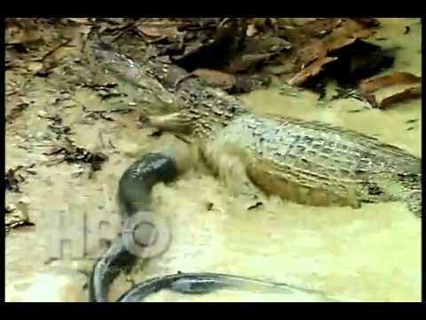 Khi Cá Sấu Gặp Cá Chình Điện