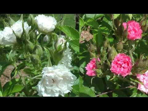 le Sentier des Roses