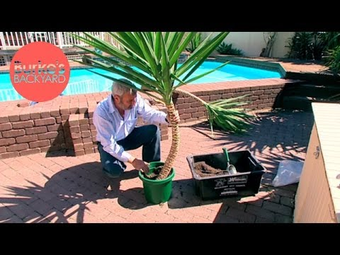 Burke's Backyard, How to Strip a Yucca