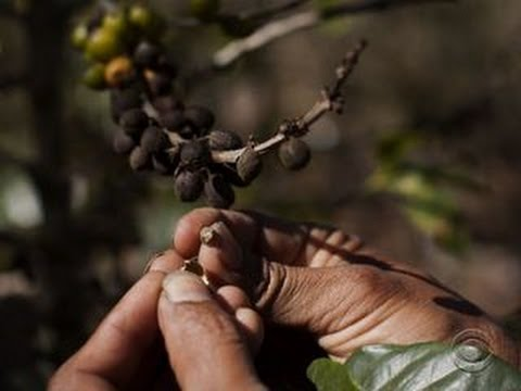 Devastating coffee disease could raise worldwide prices