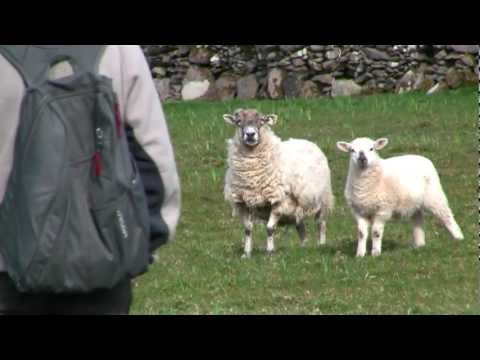 Sheep Farm, Dingle, Ireland