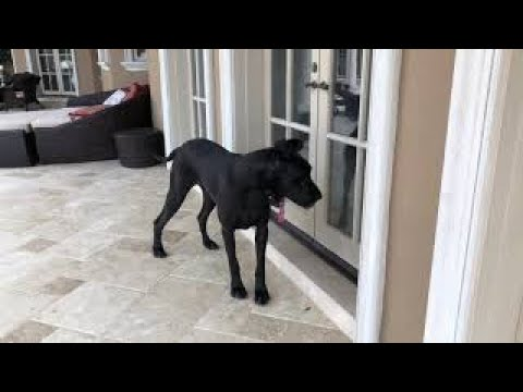 Funny Great Danes Come Running In From The Rain