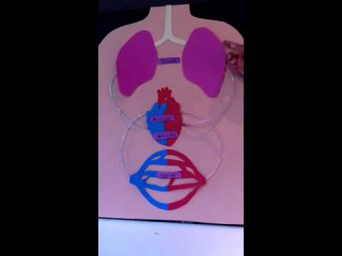 Como hacer una maqueta del sistema circulatorio funcional - Imagui