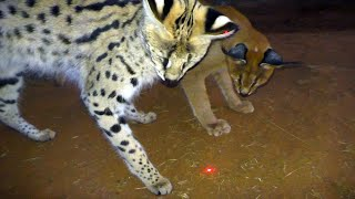 Which African BIG & Small Cats Play With Laser Light Toys? | Cheetah Leopard Lion Caracal Serval