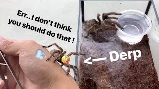 *Twerking* tarantula MEETS a FEMALE for the FIRST TIME !!! (Not very wise moves.)
