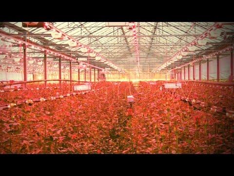 Φράουλα με Υδροπονία και Led φωτισμό  σε εσωτερικό χώρο.