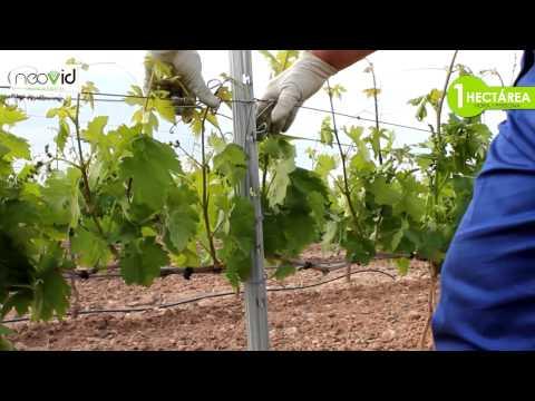NEOVID - Sistema de emparrado y conducción para el viñedo en espaldera