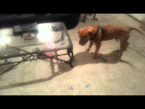 My crazy dog hates balloons video