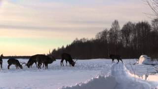 Охота с арбалетом на оленей