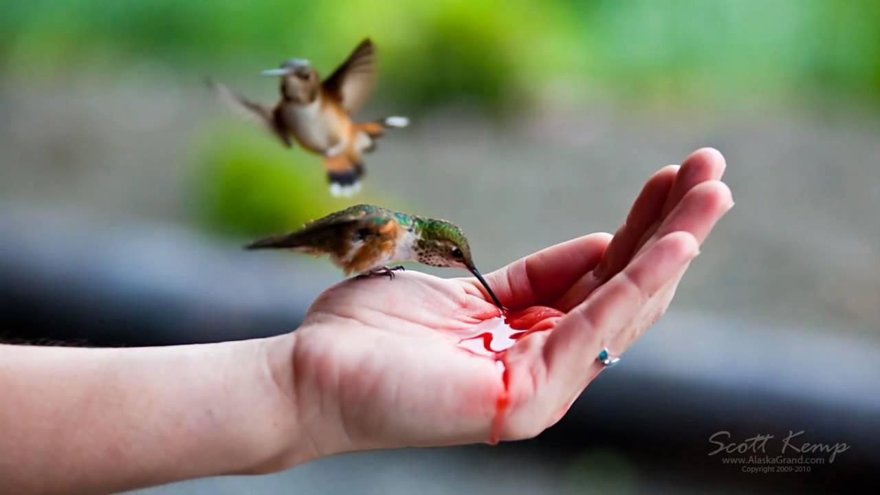 Hand Feeding Hummingbirds Youtube