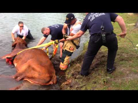 Fla. deputies rescue drowning bull