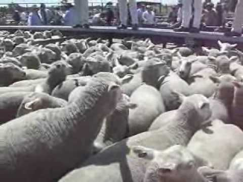 Naracoorte sheep sale