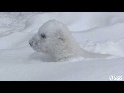 Toronto Zoo Polar Bear Cub Enjoys the Snow in his new Outdoor Habitat