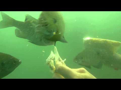Lake Murray Fish feeding #2 2013
